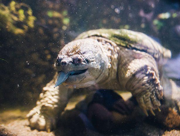 Szczotkowanie groźnego żółwia