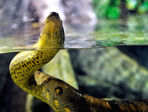 Anakonda zielona