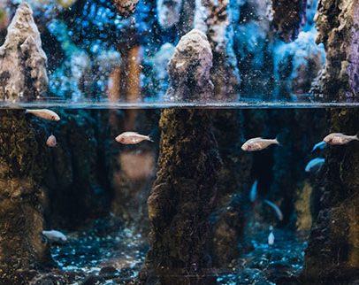 Te ryby nic nie widzą, a dobrze nawigują
