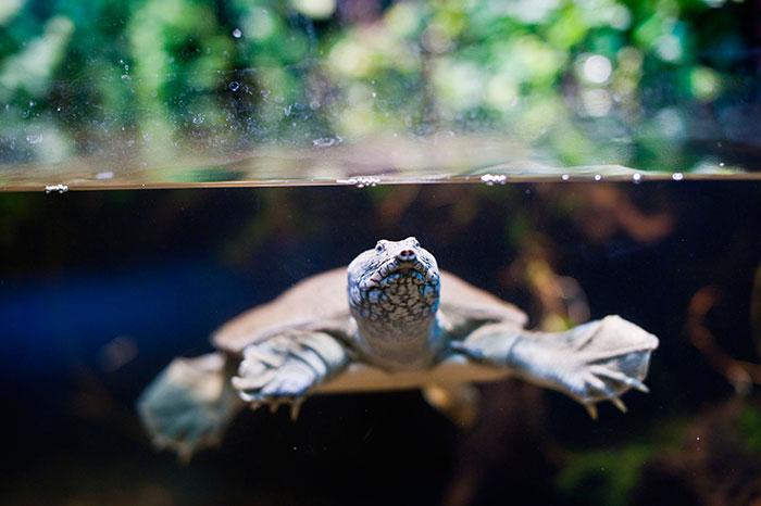 Żółwiak chiński