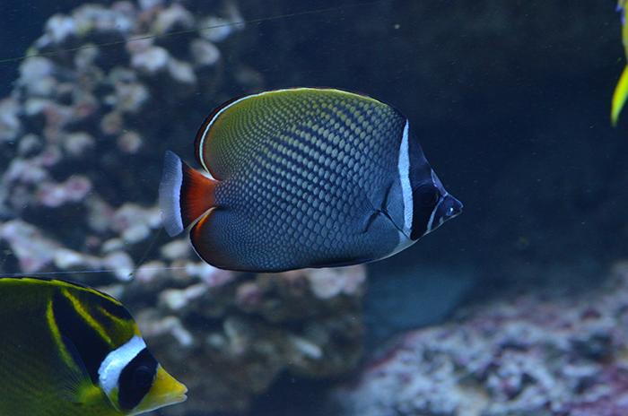 Brown butterflyfish