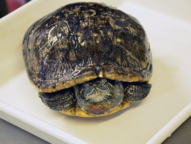 Żółw w foliowej torbie trafił na śmietnik… | TVN24