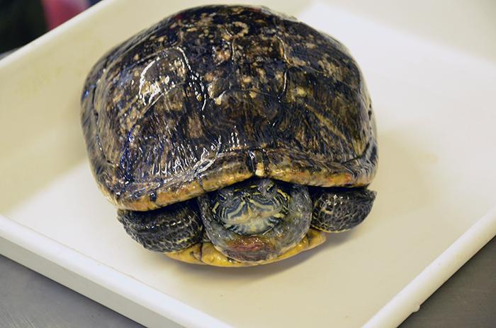 Żółw w foliowej torbie trafił na śmietnik... | TVN24