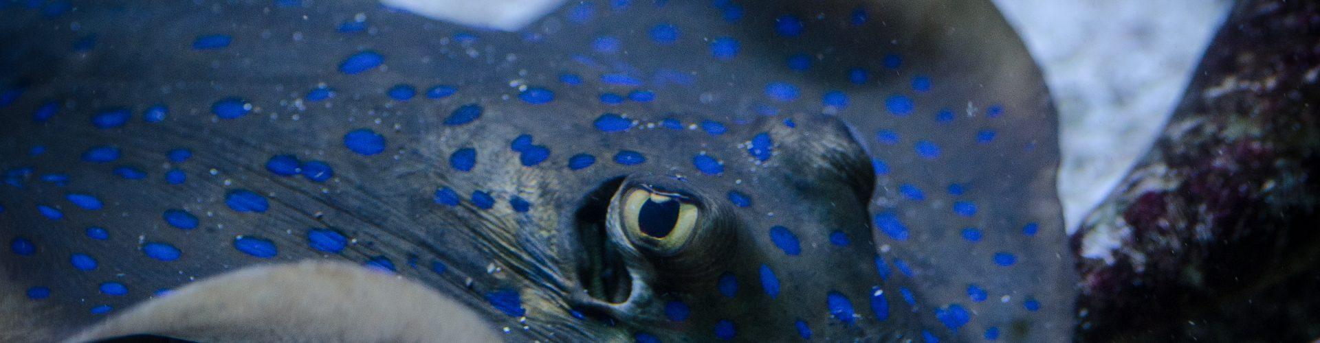 Patelnica niebieskoplama