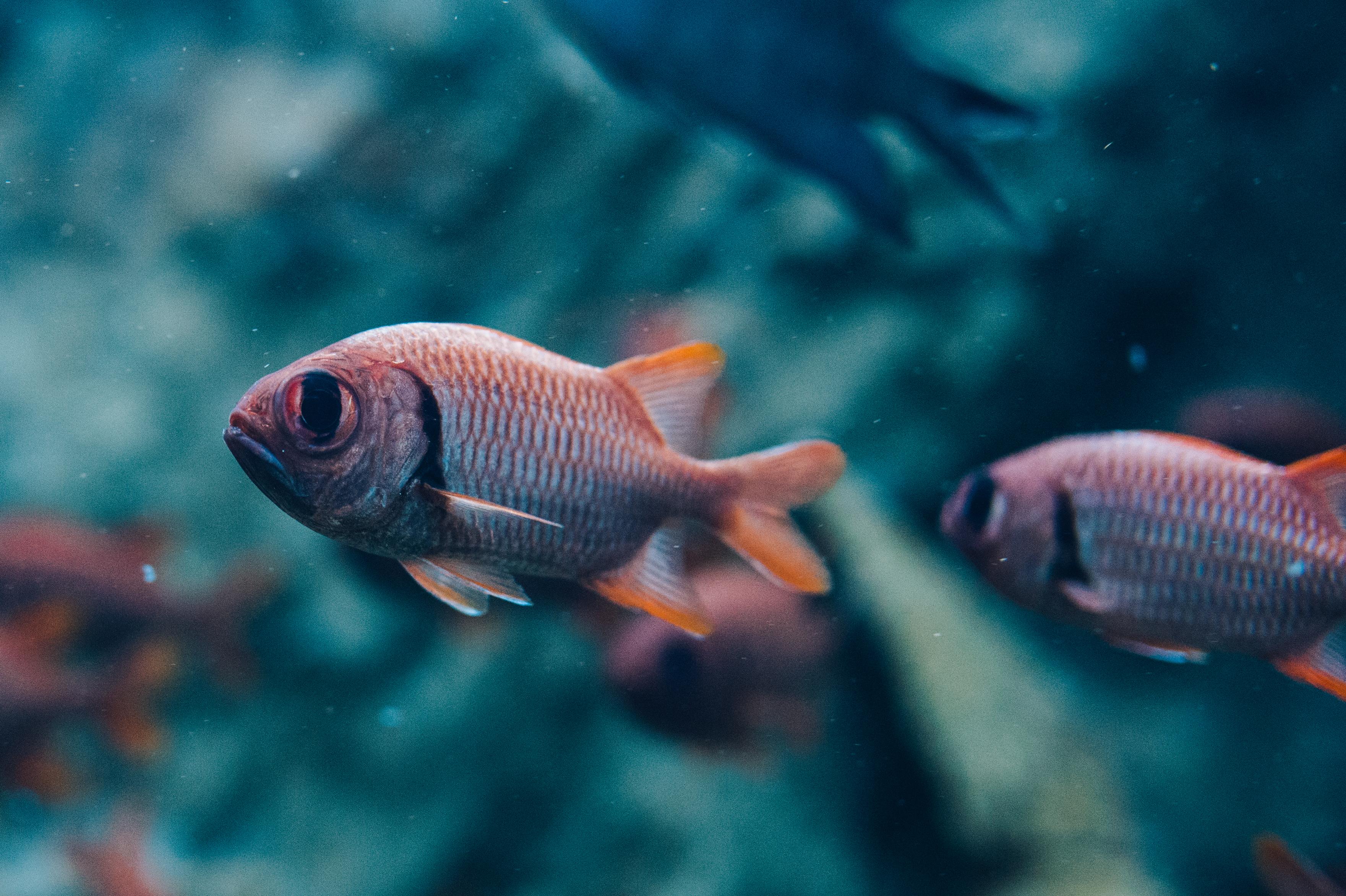 Pinecone soldierfish