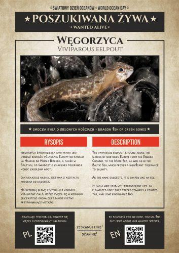 Poszukiwana żywa | Węgorzyca